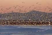 40만마리 철새 장관 이루는 유부도 갯벌…유네스코 세계문화유산됐다
