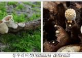 새 둥지처럼 생긴 '둥우리버섯', 가야산에서 국내 첫 발견
