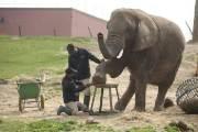 발톱 1개가 주먹만하다…4톤 코끼리가 얌전히 맡긴 페디큐어