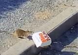 까마귀가 감튀 먹을때 훔쳤다, 300만이 열광한 '햄버거 쥐'[영상]