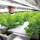 극심한 기상이변에도 공장에선 채소가 자란다