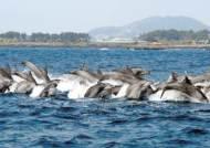 [사진] 서귀포에 정착한 남방큰돌고래