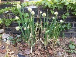 파꽃도 꽃이라고? 외면받아 '서러운' 눈깔사탕 같은 흰 꽃