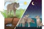 무리 안 짓고 '혼밥'…전략 바꿔 살아남은 에티오피아 늑대
