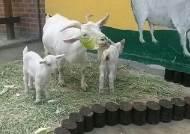 """고양 호수공원 작은동물원 """"아기염소 두마리 탄생, 좋은 징조"""""""