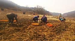 인천 옹진군 대청면, 이웃에 수확 돼지감자 기부