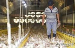 폭염에 죽어나가는 닭