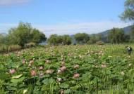 양평 세미원, 무더위가 피워낸 절정의 연꽃