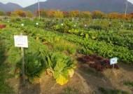 하남시, 시민 체험농장서 직접 재배한 친환경 김장용 채소 불이웃에 기부