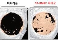 """셀리버리 """"골절 경주마에 'CP-BMP2' 투여로 치료 효능 입증"""""""