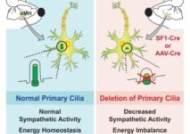 '세포의 안테나' 일차섬모의 대사조절 기능 규명