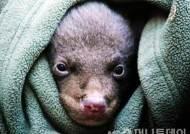 지리산 야생 반달가슴곰, 새끼 5마리 출산