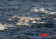 우리 연안에서 관찰된 참돌고래 무리