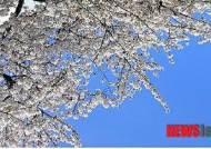 제주왕벚꽃축제 29일 개막