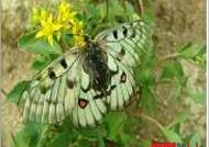 멸종위기 '붉은점모시나비' 삼척에 추가 방사