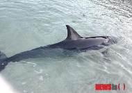 모래사장에 갇힌 긴부리참돌고래