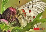 멸종위기종 '붉은점모시나비' 복원 성공