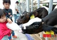 '도심 속 목장나들이', 송아지 우유 주기