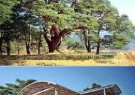 괴산 왕소나무 천연기념물 지정 32년만에 해제