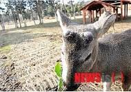 제주, 노루 포획시행 후 농작물 피해 크게 감소