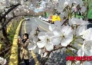 제주서 시작되는 벚꽃 물결