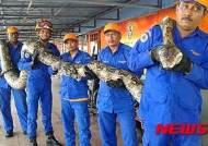 말레이시아에서 길이 7.5m 무게 249.5㎏ 거대 비단뱀 잡혀