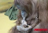 쥬쥬동물원, 어린이날 맞아 아기 오랑우탄 새 집 마련
