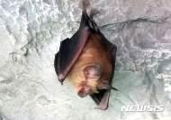 동해 천곡동굴에 황금박쥐 출현