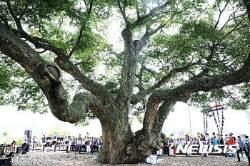 괴곡동 느티나무 목신제