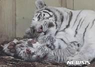 폴란드 동물원서 태어난 새끼 백호랑이