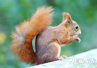 '문둥병' 걸린 영국 다람쥐…전염 '패닉' 확산되나