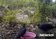 신안 흑산 매물도 '흑비둘기'