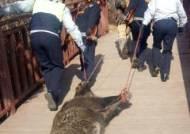 부산 금정산 등산로에 나타난 대형 멧돼지 사살