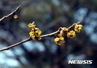꽃망울 터트린 풍년화…산림청, 고온현상으로 평년보다 빨라져