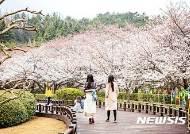 광양 백운대 가로수길 벚꽃 활짝