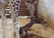 뉴욕동물원서 아기 기린 태어나..세계120만명이 온라인 참관