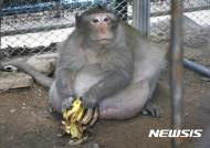 태국 비만 원숭이, 감량 돌입…관광객 제공 '정크푸드'에 '골골'