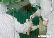 근육이완제 맞는 닭