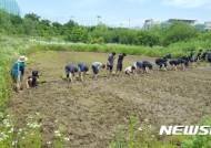 [수원소식] 수원환경운동센터, 토종벼 손 모내기 개최 등