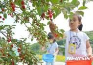 보리수 열매 따는 어린이들