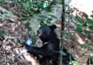 김천서 발견된 반달가슴곰 '야생곰 확률 낮아'