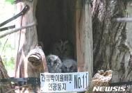 멸종위기 '긴점박이올빼미', 오대산 인공둥지서 새끼 2마리 첫 번식