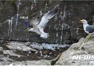 '절멸 위기' 뿔제비갈매기 올해도 무인도서에서 번식 성공