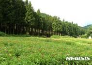 '산림욕 성지'…장성서 9월16일~17일 '축령산 편백 산소축제'