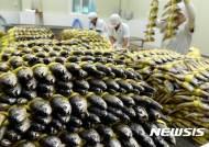 전남도 '어획량 급감' 참조기 양식기술보급, 굴비산업 회생 '속도'