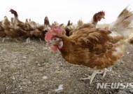 미 13주, 철창서 낳은 달걀 판매금지한 매사추세츠에 소송