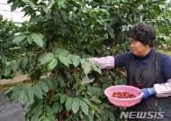[고성소식] 아라비카 커피열매 수확