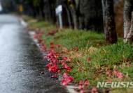 길에 뿌려진 동백꽃