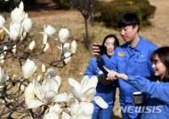 광양제철소에 찾아온 봄…'백목련' 활짝