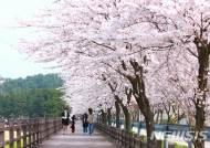 울진 성류굴 일원의 벚꽃 길 전경
